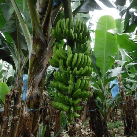 banana03-min